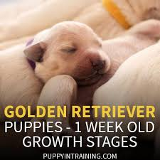Golden Retriever Weight Chart Female Golden Retriever Puppy Growth Week By Week Pictures Puppy