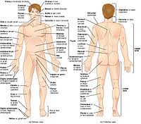 What parts of the torso protects the body? List Of Human Anatomical Regions Wikipedia