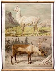 Antique Deer And Reindeer Wall Chart By Th Breidwiser For Gerold Sohn 1879