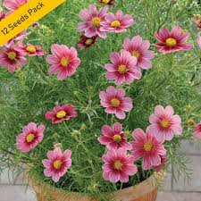 royal rainy flowers 12 seeds pack