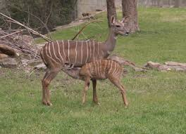 Small Picture Lesser Kudu WhoZoo