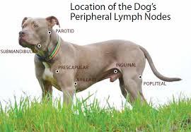 Canine Lymphoma Symptoms Canine Lymphoma Risk Factors Symptoms Diagnosis And