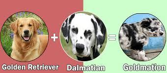 golden retriever dalmatian mix. Simple Dalmatian Pitmation Pitbull  Dalmatian U003d Pitmation On Golden Retriever Mix