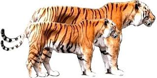 siberian tiger vs bengal tiger.  Siberian Siberian Tiger Vs Bengal Fight  Photo17 And Tiger Vs Bengal E