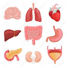 Cartoon Human Body Organs Healthy Digestive Circulatory Organ