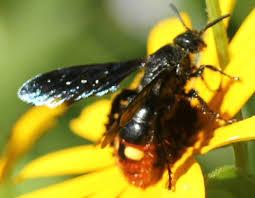 black <b>wasp</b> with orange abdomen wtih two <b>yellow spots</b> - Scolia ...