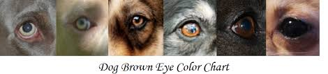 Dog Brown Eye Chart Daily Dog Discoveries