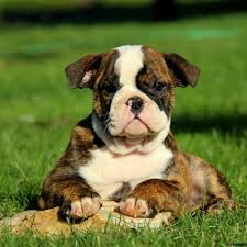olde english bulldogge puppies for