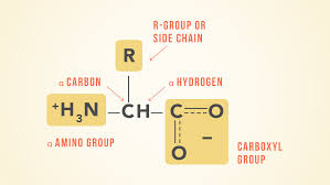 Amino Acid Characteristics Chart Essential Amino Acids Chart Abbreviations And Structure