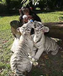 baby white tigers for sale.  Sale White Lion Tiger Cubs  Cheetah Panther Babies Lion  Inside Baby Tigers For Sale L