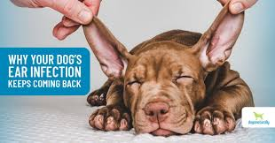 dog ear infections natural remes