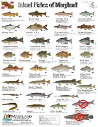 Freshwater Fish Identification Chart Common Freshwater Fish Identification Inland Fishes Of Md