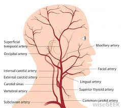 arteries of the face what is the facial artery with pictures