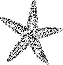 Small Picture Drawing Of A Starfish Black And White Sea Star Karen Whitworthjpg