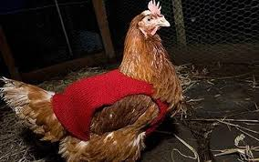 Chicken Sweater Pattern Mesmerizing You Will Love These Knitted Chicken Sweaters Free Patterns The WHOot