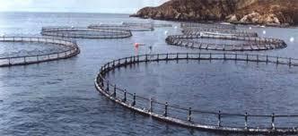 La acuicultura contamina zonas públicas para intereses privados.