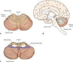 human brain anatomy essay medicine and health articles cerebellum