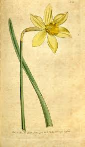 Narcissus × incomparabilis - Wikispecies