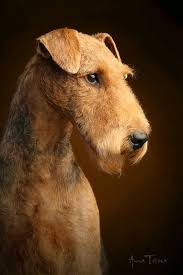 Airedale Perfection Airedale Terrier Dog Grooming Styles