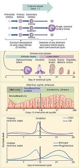Menstrual Cycle Wikipedia