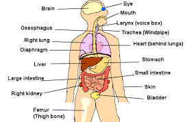 Organs In The Human Body Organs In The Body