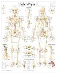 Human Skeleton Wall Chart The Skeletal System Chart Wall Chart 9781930633001