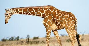 picture of a giraffe. Perfect Picture A Giraffe Walking On The Savanna With Picture Of Giraffe N