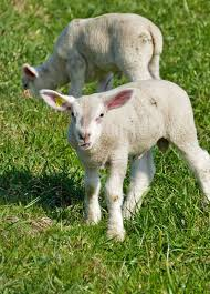 Light Livestock Agriculture Cattle Breeding Sheep Lamb Nature Meadow
