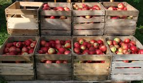 Image result for apples in bushels