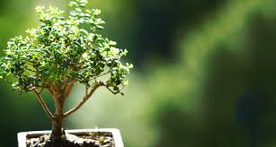 office bonsai tree. Bonsai Tree Care For Beginners\u2014Everything You Need To Know Office O