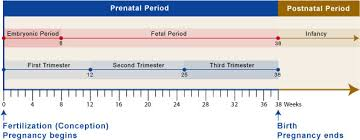 Prenatal Development Chart Prefertilization Prenatal Overview