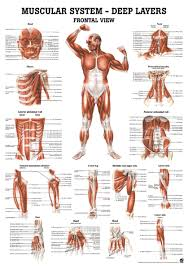Muscular System Deep Layers Frontal View Anatomical Chart