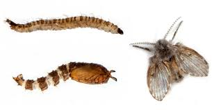 how to get rid of the pesty drain flies