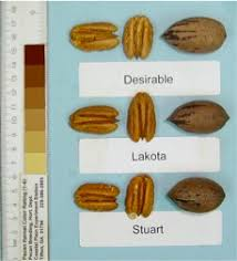 Pecan Size Chart Pecan Varieties For Georgia Orchards Uga Cooperative Extension