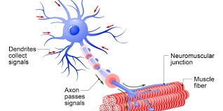 spinal muscular atrophy ile ilgili görsel sonucu