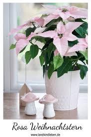 Rosa Weihnachtsstern Euphorbia Pulcherrima