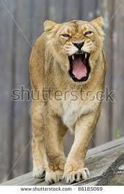 lioness roar front view. Brilliant Lioness Lioness Roaring Front View    On Lioness Roar Front View R