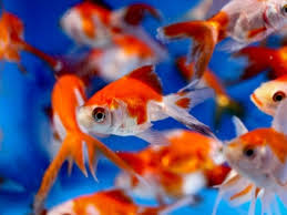 fantail fish. Simple Fantail Fantail Goldfish On Fish G