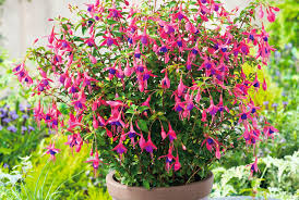 3 of the best perennials for containers