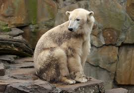 grolar bear size grolar bear hybrid animals