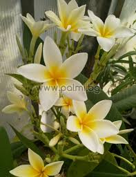 After booking, all of the. Plants Seeds Bulbs 5 Fresh Seeds Frangipani Plumeria Rubra Dwarf Deciduos White Kisetsu System Co Jp