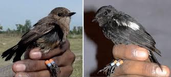 >> suara tledekan betina birahi. Panduan Awal Penangkaran Burung Decu Om Kicau