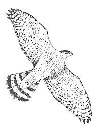 Amerikaanse Zeearend Kleurplaat Ausmalbild Weikopfseeadler Aus