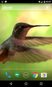 hummingbird live wallpaper screenshot 5