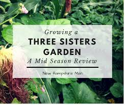 a mid season review of a three sisters garden