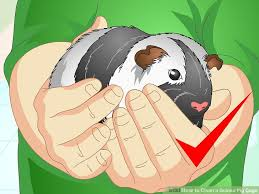 Guinea Pig Urine Chart How To Clean A Guinea Pig Cage With Pictures Wikihow