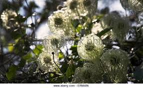 clematis blooms at mt diablo state park stock image