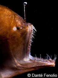 Deep Sea Anglerfish Deep Sea Creatures On Sea And Sky