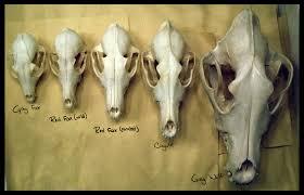 Small Animal Skull Identification Chart Canidae Of North America Fox Skull Moose Skull Wolf Skull