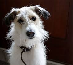 wire haired jack russell terrier. Developed In England Some 200 Years Ago To Hunt Foxes The Jack Russell Terrier Also Known As Parson Is Lively Independent Intended Wire Haired